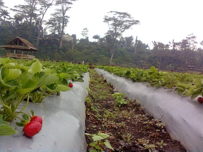 kebun strawberry kalisat