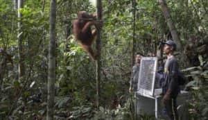 tempat perlidungan orang utan di Indonesia