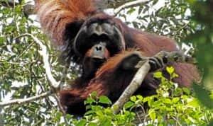 teman nasional orang hutan