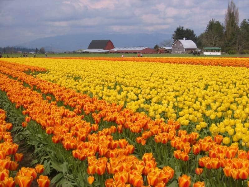 Nggak Hanya Di Belanda 10 Tempat Melihat Keindahan Taman Bunga Tulip Dari Seluruh Dunia Mulai Asia Hingga Eropa Tempat Melihat Keindahan Taman Bunga Tulip