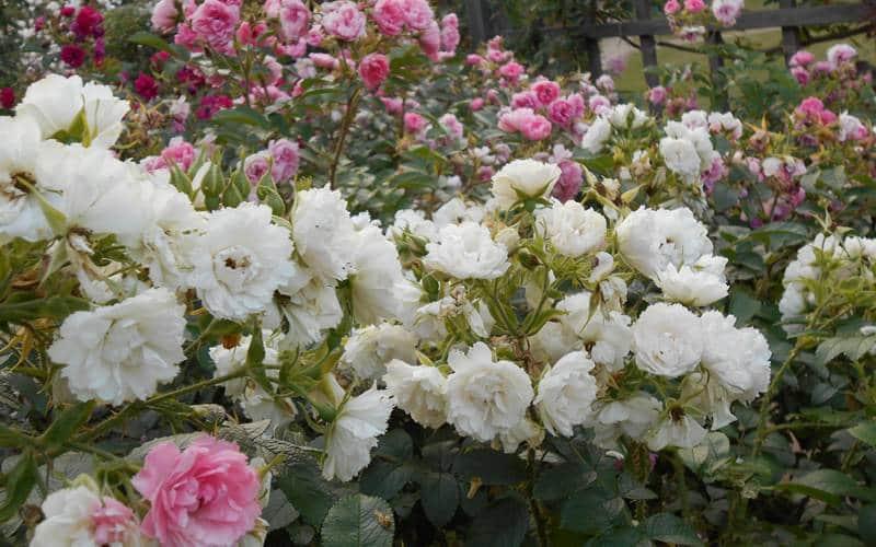 taman bunga mawar indah di dunia