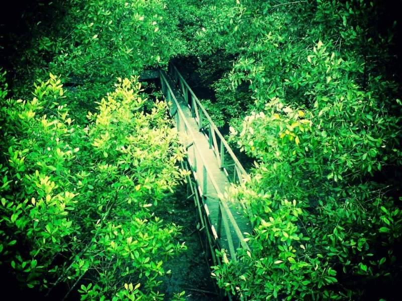 hutan mangrove terkenal di Indonesia