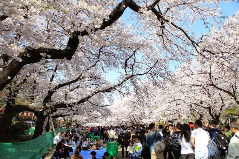 taman bunga sakura cibodas