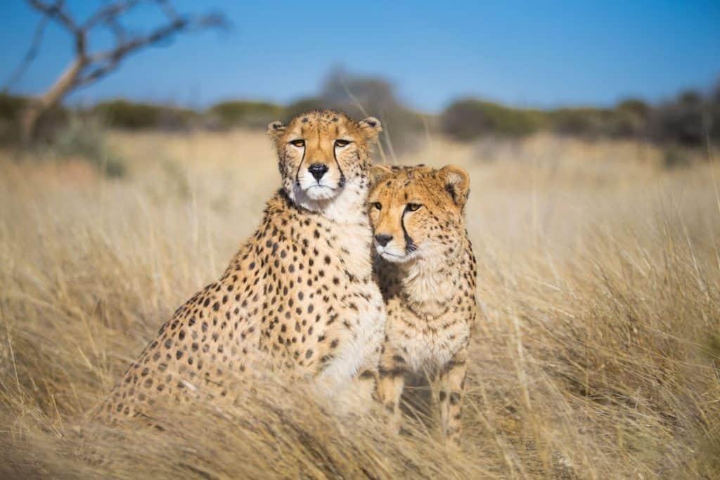 Tempat Safari Untuk Melihat Cheetah
