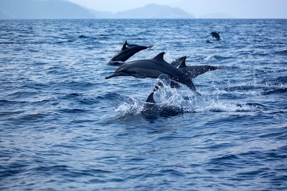 Destinasi Wisata Melihat Lumba lumba di Laut Lepas