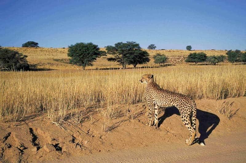 Tempat Safari Terbaik Untuk Melihat Cheetah