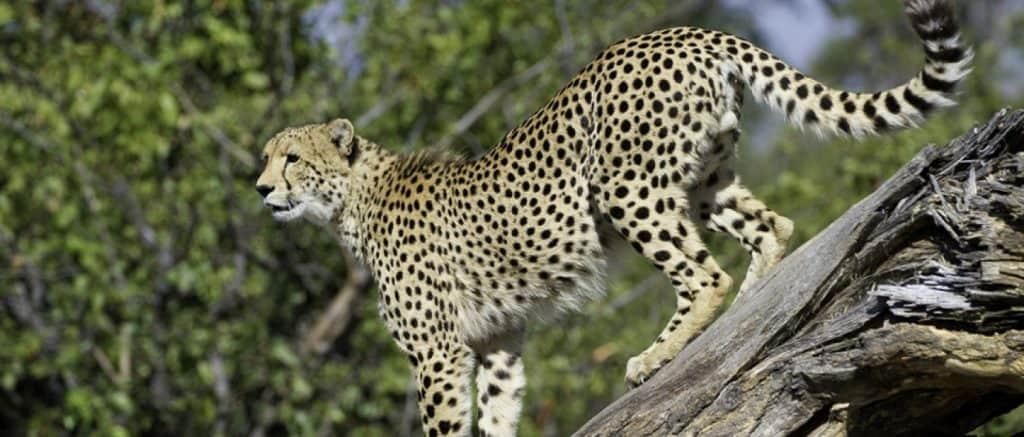 Tempat Safari  Melihat Cheetah