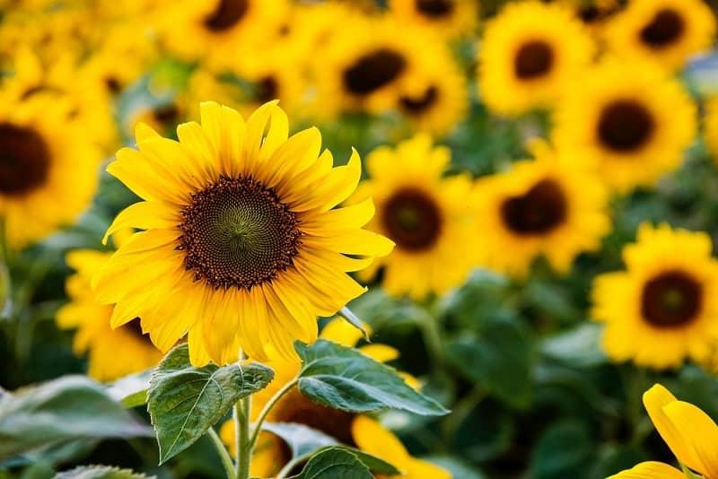 Kebun Matahari di indonesia
