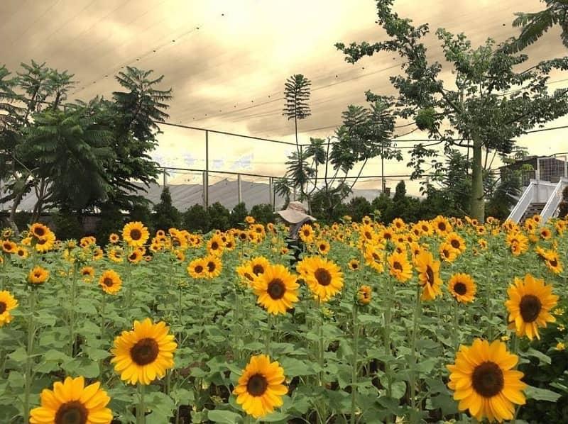 Kebun Matahari Paling Indah di indonesia