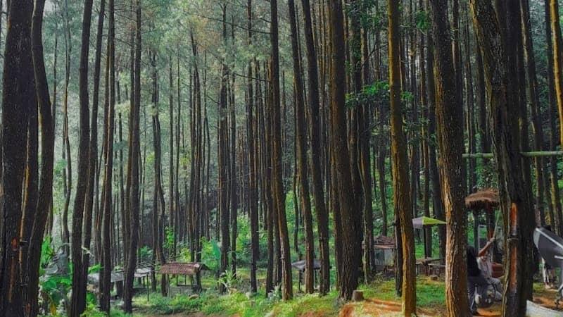 Wisata Rimba Pinus
