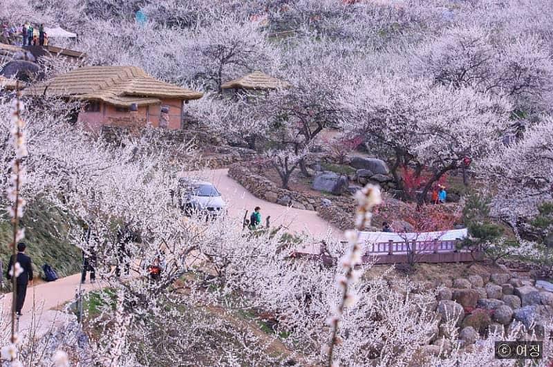 Festival musim semi  Korea