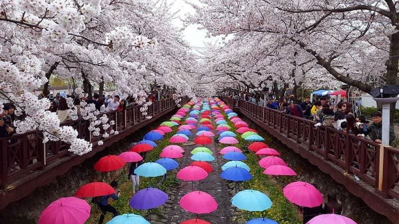 Festival musim semi di Korea selatan