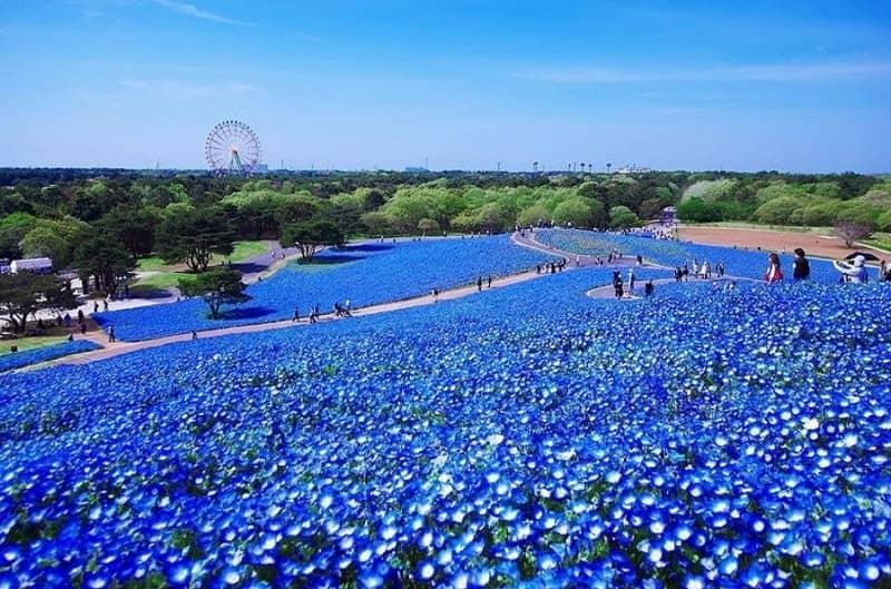 Hitachi Seaside Park - Jepang