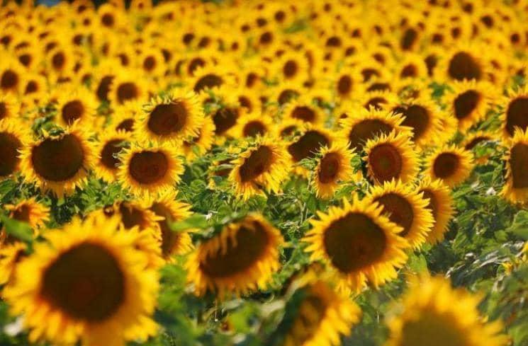 Taman Bunga Matahari - Italia